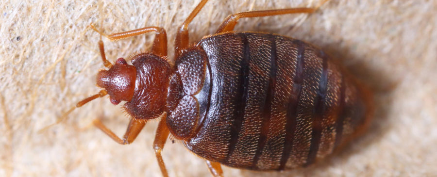 How to Find Bed Bugs