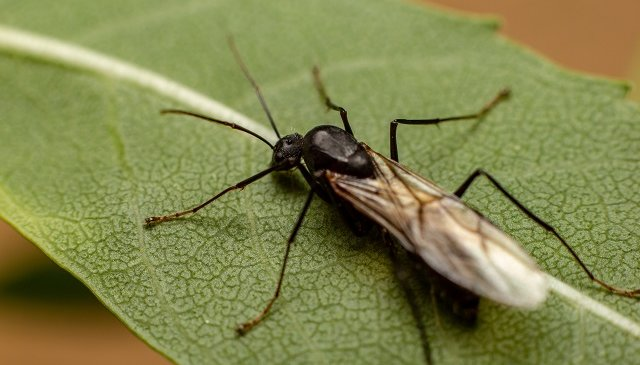 carpenter-ants-with-wings